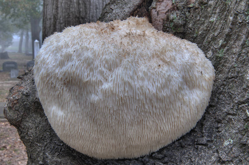 "Bearded Tooth Mushroom (<B>Hericium erinaceus</B>) growing on a tree in Oakwood Cemetery. Huntsville, Texas, <A HREF=""../date-en/2011-12-29.htm"">December 29, 2011</A>"