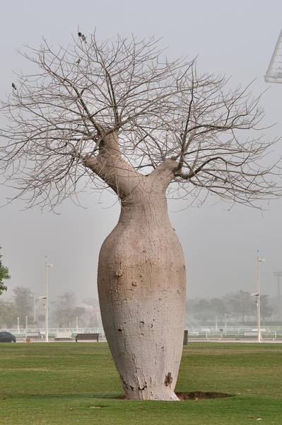 Silk floss tree (Chorisia speciosa, Ceiba speciosa, baobab family) in a park of Aspire Zone in morning mist. Doha, Qatar, March 2, 2012
