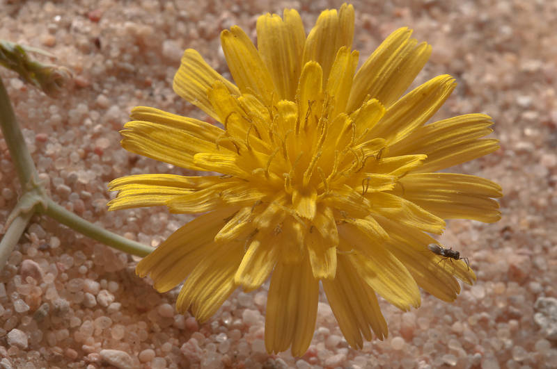 Dandelion like flower of Launaea mucronata(?) in Harrarah, 40 miles south-west from Doha. Qatar, March 2, 2012