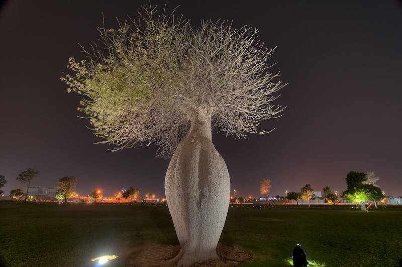Silk floss tree (Chorisia speciosa, Ceiba speciosa, baobab family) in a park of Aspire Academy. Doha, Qatar, March 8, 2012