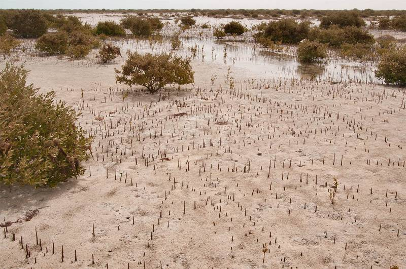 Mangrove forest (Avicennia marina) at low tide at northern tip of Qatar, east from Ruwais, March 24, 2012