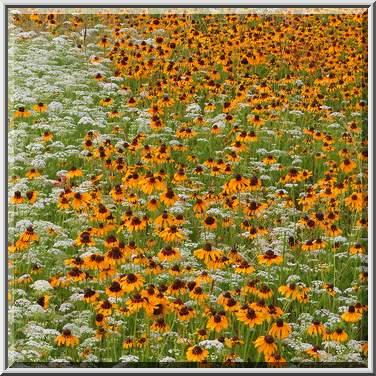 Photo 1052 23 Field Of Black Eyed Susans Rudbeckia Hirta