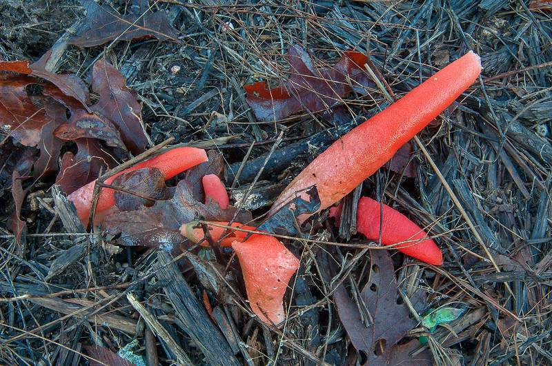 Elegant stinkhorn mushrooms (Mutinus elegans) growing on mulched trees under power lines in Lake Bryan Park. Bryan, Texas, January 10, 2013
