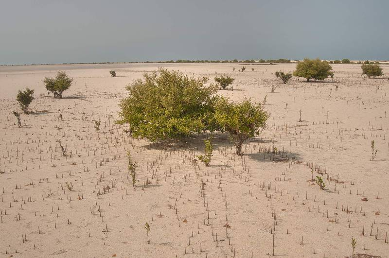 Mangroves (Avicennia marina) with aerial roots (pneumatophores) in salt marsh near Jazirat Umm Tays, barrier island at northern tip of Qatar, east from Ruwais. Qatar, April 12, 2013