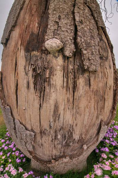 Rotten trunk of Silk floss tree (Chorisia speciosa, Ceiba speciosa) in a park of Aspire Zone. Doha, Qatar, April 26, 2013