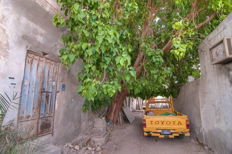 Large sacred fig (Bo-Tree, Ficus religiosa) in an alley parallel to Abdullah Bin Thani Street, Musheirib area. Doha, Qatar, May 24, 2013