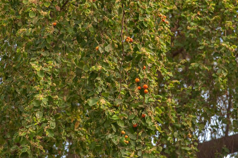Sidra tree (Ziziphus spina-christi) with apple like fruits at Sikkat Al Hanan, Najma area. Doha, Qatar, June 7, 2013