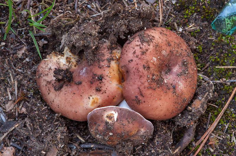 "The flirt brittlegill mushrooms (<B>Russula vesca</B>(?)) in Kannelyarvi, 45 miles north from Saint Petersburg. Russia, <A HREF=""../date-en/2013-08-21.htm"">August 21, 2013</A>"
