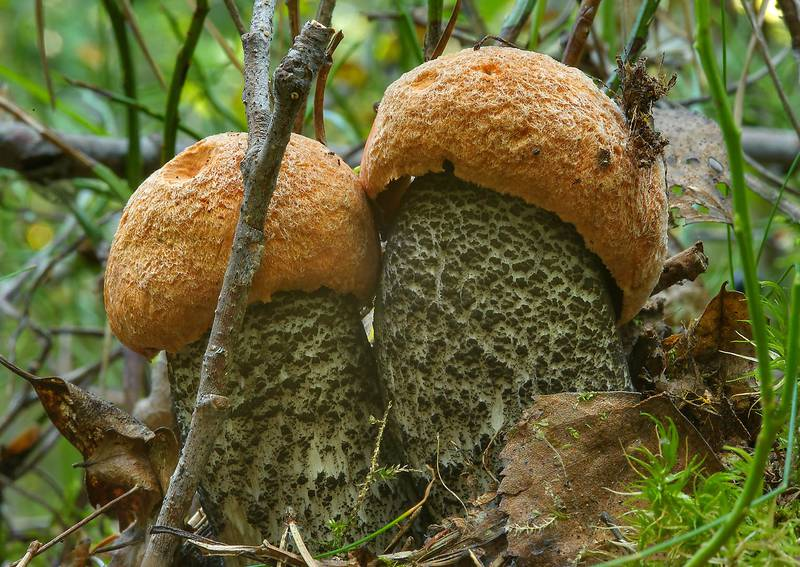 "Orange birch bolete mushrooms (<B>Leccinum versipelle</B>) near Lembolovo, 45 miles north from Saint Petersburg. Russia, <A HREF=""../date-en/2013-08-27.htm"">August 27, 2013</A>"