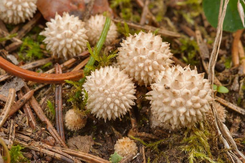 "Young tiny common puffball mushrooms (<B>Lycoperdon perlatum</B>) in Okhtinsky Park near Toksovo, suburb of Saint Petersburg. Russia, <A HREF=""../date-ru/2013-08-29.htm"">August 29, 2013</A>"