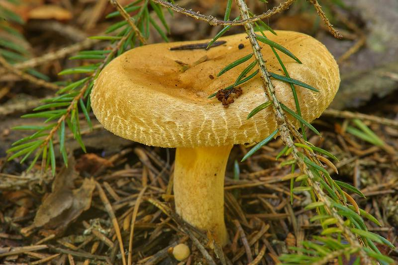 "Brown roll-rim mushroom (<B>Paxillus involutus</B>, Russian name Svinushka) in a forest around Kavgolovskoe Lake, near Saint Petersburg. Russia, <A HREF=""../date-ru/2013-09-06.htm"">September 6, 2013</A>"