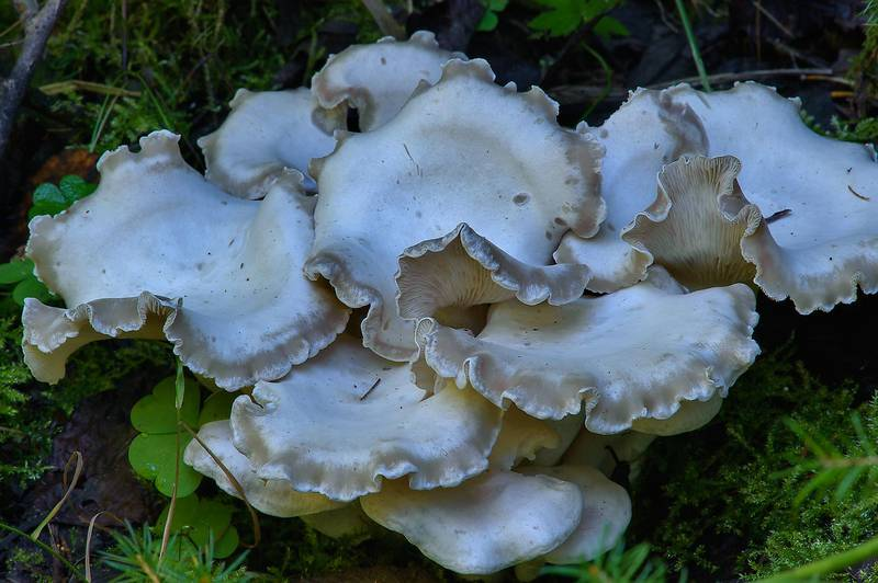 "Cluster of white domecap mushrooms (<B>Leucocybe connata</B>, Lyophyllum connatum) on roadside near Kavgolovskoe Lake, near Saint Petersburg. Russia, <A HREF=""../date-en/2013-09-06.htm"">September 6, 2013</A>"