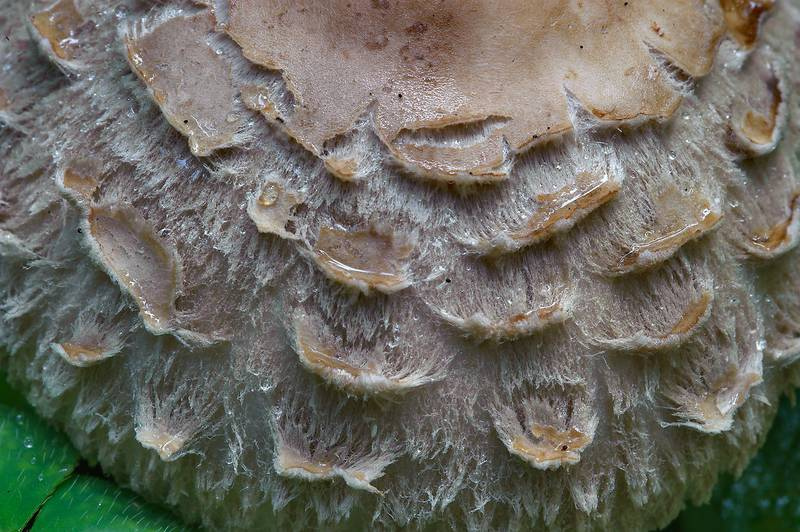 "Scales on a cap of Shaggy parasol mushroom (<B>Chlorophyllum olivieri</B>) in Okhtinsky Park in Toksovo, 8 miles north from Saint Petersburg. Russia, <A HREF=""../date-en/2013-09-13.htm"">September 13, 2013</A>"