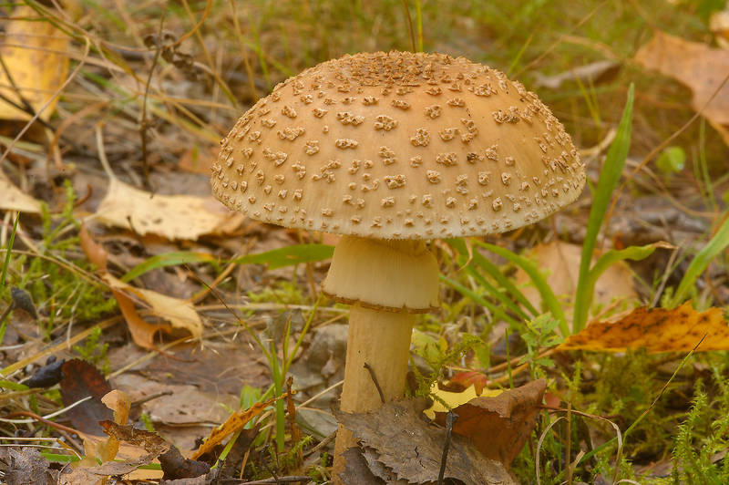 Blusher mushroom (Amanita rubescens) in north-west area of Monrepo (Mon Repos) Park. Vyborg, Russia, September 14, 2013