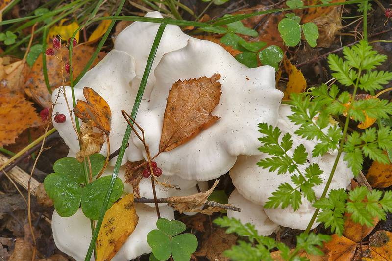 "White domecap mushrooms (<B>Leucocybe connata</B>, Lyophyllum connatum) on roadside near Kavgolovskoe Lake, 12 miles north from Saint Petersburg. Russia, <A HREF=""../date-en/2013-09-20.htm"">September 20, 2013</A>"