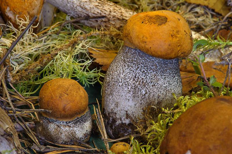 "Orange birch bolete mushrooms (<B>Leccinum versipelle</B>) on display on mushroom exhibition in Botanic Institute. Saint Petersburg, Russia, <A HREF=""../date-ru/2013-09-20.htm"">September 20, 2013</A>"