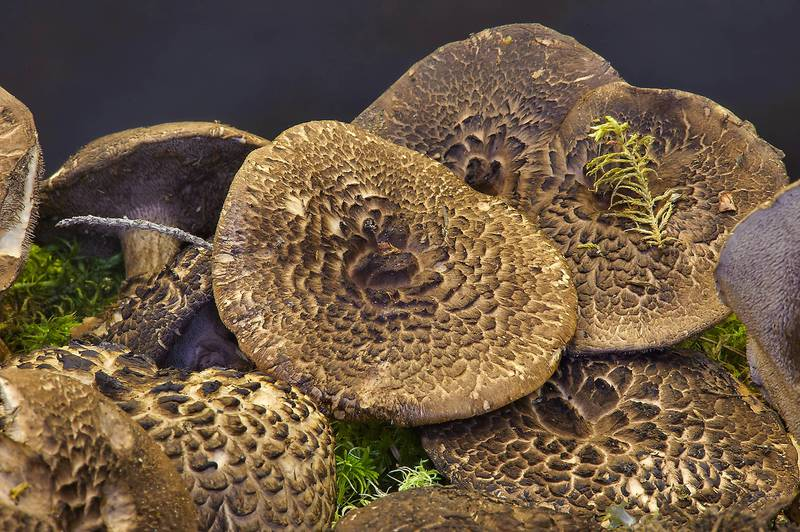 "Shingled hedgehog mushrooms (<B>Sarcodon imbricatus</B>) on display on mushroom exhibition in Botanic Institute. Saint Petersburg, Russia, <A HREF=""../date-ru/2013-09-20.htm"">September 20, 2013</A>"