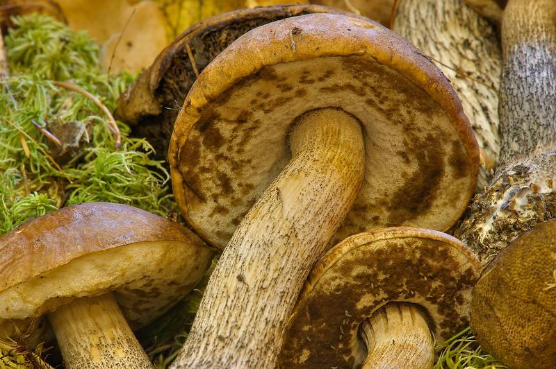 "Brown birch bolete mushrooms (<B>Leccinum scabrum</B>) with insect larvae on display on mushroom exhibition in Botanic Institute. Saint Petersburg, Russia, <A HREF=""../date-en/2013-09-20.htm"">September 20, 2013</A>"