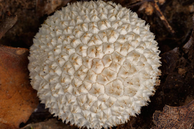 "Small puffball mushroom <B>Lycoperdon curtisii</B> (Vascellum curtisii) or pulcherrimum(?) on Post Oak Trail in Lick Creek Park. College Station, Texas, <A HREF=""../date-en/2013-10-02.htm"">October 2, 2013</A>"