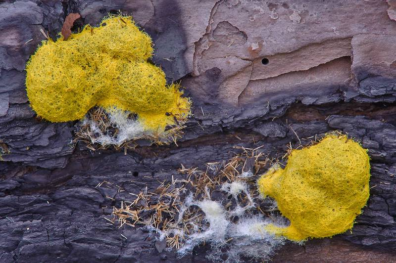 Dog vomit slime mold (Fuligo septica) in Bastrop State Park. Bastrop, Texas, October 5, 2013