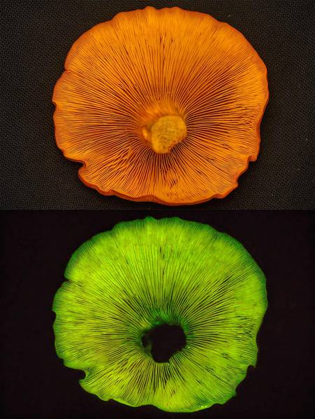 "Glowing cap of Jack-o-lantern (<B>Omphalotus olearius</B>) mushrooms taken from Lemontree Park. College Station, Texas, <A HREF=""../date-en/2013-11-02.htm"">November 2, 2013</A>"