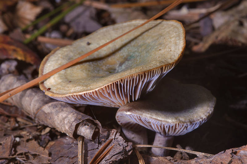 "Milkcap mushrooms <B>Lactarius paradoxus</B> on Kirby Trail in Big Thicket National Preserve. Warren, Texas, <A HREF=""../date-en/2013-11-10.htm"">November 10, 2013</A>"
