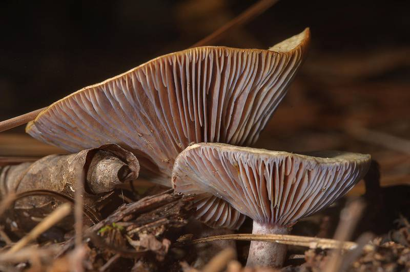 "Close up of milkcap mushrooms <B>Lactarius paradoxus</B> on Kirby Trail in Big Thicket National Preserve. Warren, Texas, <A HREF=""../date-en/2013-11-10.htm"">November 10, 2013</A>"