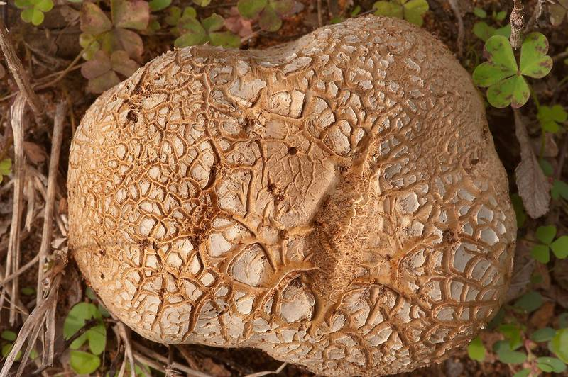 Cracked surface of tuff puffball mushroom (Scleroderma texense) on roadside in Lick Creek Park. College Station, Texas, November 16, 2013