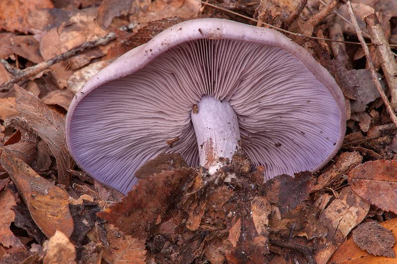 "Violet wood blewit mushroom (Clitocybe nuda, <B>Lepista nuda</B>) on Iron Bridge Trail in Lick Creek Park. College Station, Texas, <A HREF=""../date-en/2013-12-19.htm"">December 19, 2013</A>"
