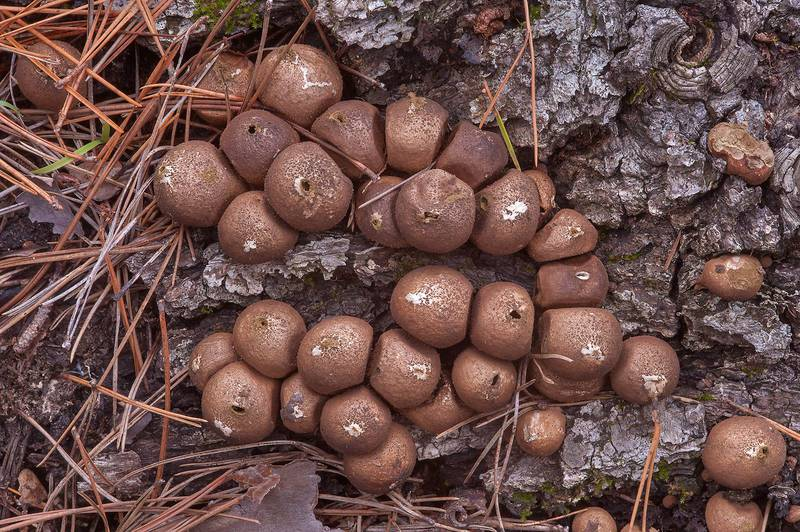 "Dry pear-shaped puffball mushrooms (<B>Lycoperdon pyriforme</B>) in Huntsville Park. Texas, <A HREF=""../date-en/2013-12-28.htm"">December 28, 2013</A>"