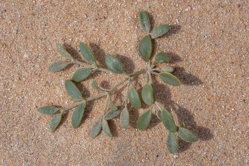 Seedling of Fagonia ovalifolia(?) on sand in area of Jebel Al-Nakhsh in south-western Qatar, February 7, 2014
