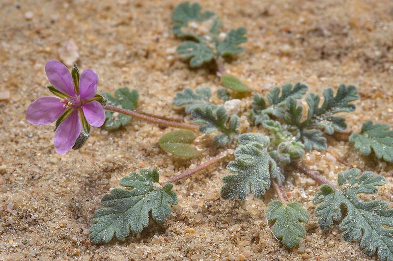 Cutleaf Heron's-bill (Erodium laciniatum) near Sawda Natheel Road in southern Qatar, February 11, 2014