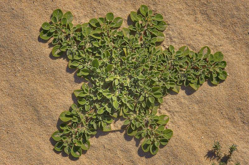 Starfish shaped desert plant of purslane-leaved aizoon (Aizoon canariense) near Sawda Natheel Road in southern Qatar, February 11, 2014