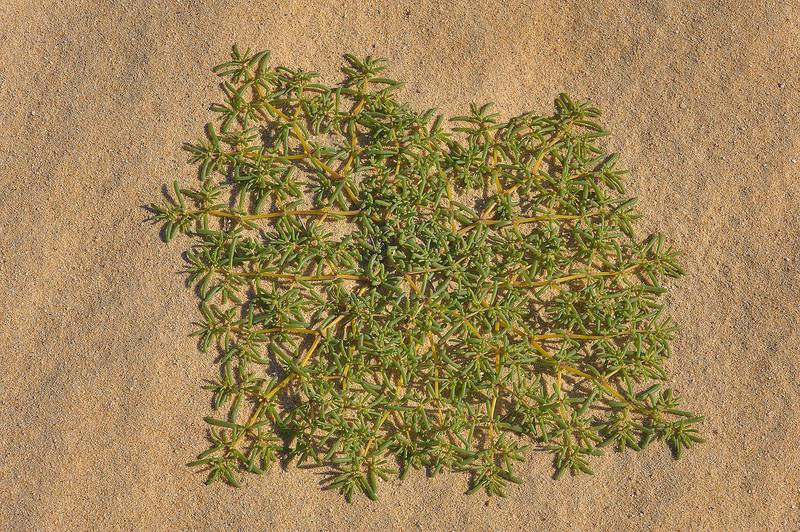 Desert plant of Zygophyllum simplex (Tetraena simplex, local names Daa, harm, hureim) near Sawda Natheel Road in southern Qatar, February 11, 2014