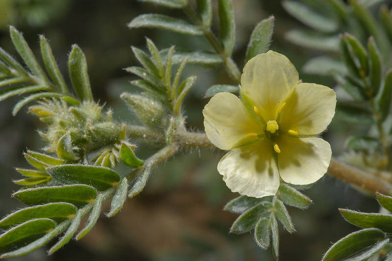Flower of puncturevine (Caltrop, Tribulus terrestris, Tribulus lanuginosus, local name hasak) on a roadside in southern Qatar, February 11, 2014