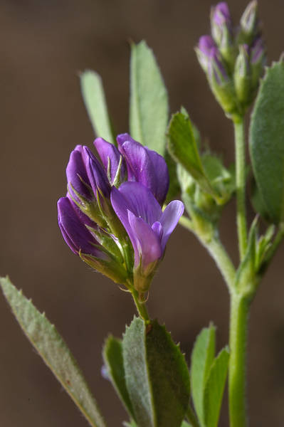 Alfalfa (lucerne, Medicago sativa, local names jet, barseem) in Trainah in southern Qatar, February 14, 2014
