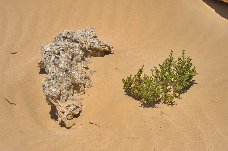Tetraena qatarense (Zygophyllum qatarense, local name harm) in sand near Harrarah in southern Qatar, February 14, 2014