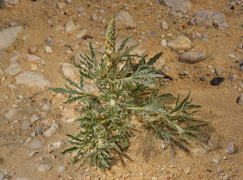 Reseda muricata (local name showla) in sand near Umm Bab in south-western Qatar, February 21, 2014