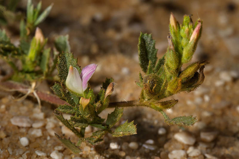 Restharrow Ononis serrata with a flower at entrance of Umm Bab in south-western Qatar, February 21, 2014