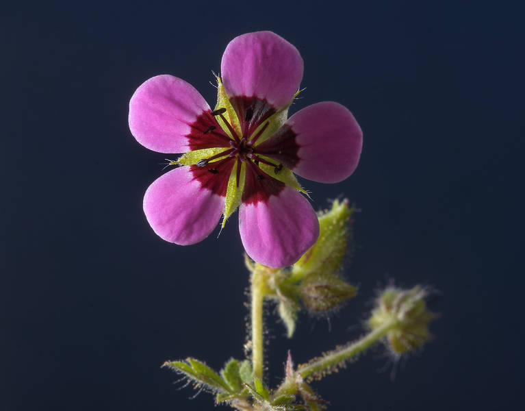 Back lit flower of black-eyed geranium (Geranium mascatense) on roadside of a road to Zubara in Al Magdah farms area, in north-western Qatar, February 22, 2014