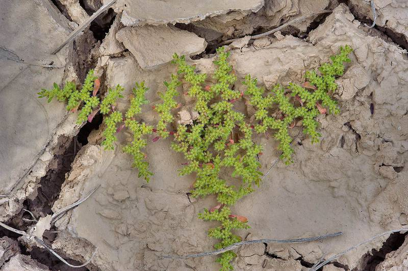 Prostrate plant Hairy Rupturewort (Herniaria hirsuta, local name Eysh shawlah) with flowers in silty depression near Ras Laffan. Northern Qatar, February 28, 2014