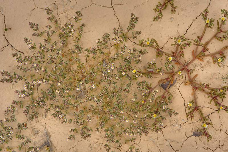 European seaheath (Frankenia pulverulenta) together with Egyptian Fig-marigold (slenderleaf ice plant, Mesembryanthemum nodiflorum) in abandoned farms in Ras Laffan. Northern Qatar, February 28, 2014