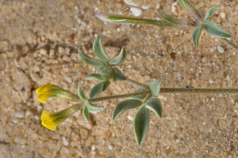 Flowers of greater bird's foot trefoil (Lotus halophilus, Lotus villosus) near Dukhan Road. Western Qatar, March 1, 2014