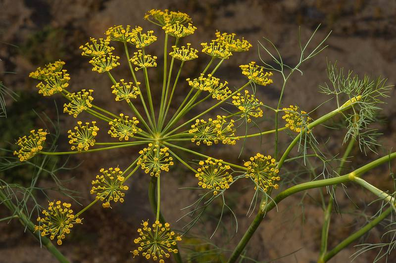 Seeds of dill (Anethum graveolens, local names ein jarada, shabat) on roadside of Salwa Road in south-western Qatar, March 3, 2014