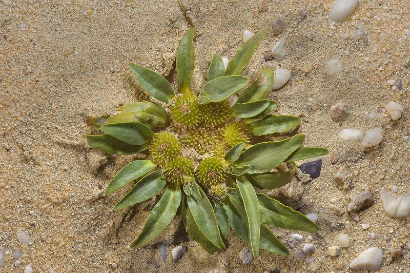 Basal rosette of Dog's Paw plant (Camel's Eye, Gymnarrhena micrantha) near Umm Bab in south-western Qatar, March 3, 2014