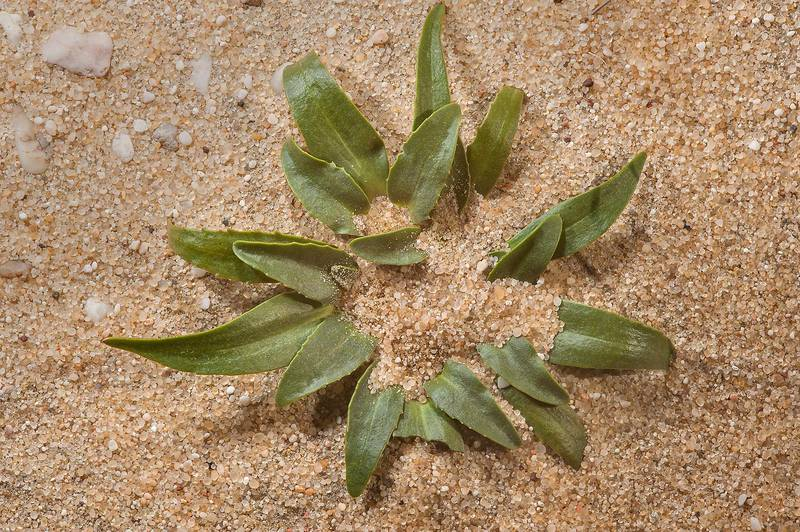 Basal rosette emerging from sand of Dog's Paw plant (Camel's Eye, Gymnarrhena micrantha) near Umm Bab in south-western Qatar, March 3, 2014