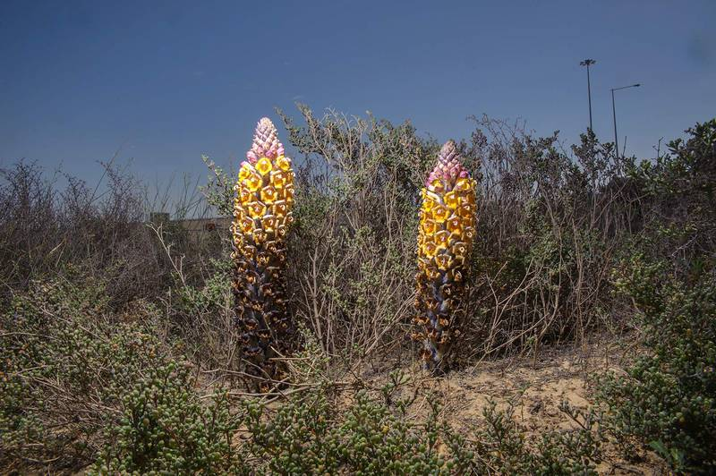 Desert Hyacinth (Cistanche tubulosa, dhanoon, Tartuth) with a host plant Zygophyllum qatarense at entrance of Umm Bab in south-western Qatar, March 3, 2014