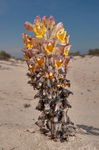 Parasitic plant Desert Hyacinth (Cistanche tubulosa, dhanoon, Tartuth) on a beach in the area of Al Hamala (Al Hamlah) Water Well near Umm Bab in south-western Qatar, March 3, 2014