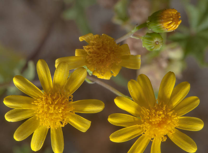 Buck's horn groundsel (Senecio glaucus, mureer) in a runnel north from Dukhan in western Qatar, March 3, 2014