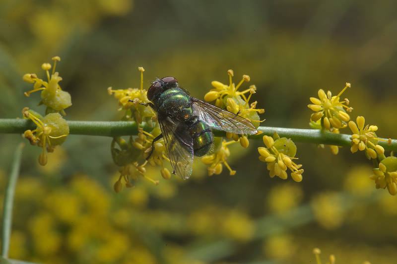 Fly on yellow flowers of Ochradenus baccatus (Pearl Plant, Taily Weed, local name Gurdhi or qurDi) in a runnel north from Dukhan in western Qatar, March 3, 2014